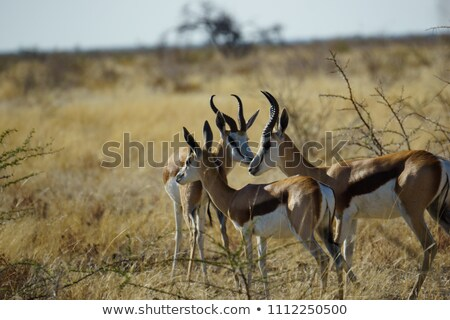 Grazing Antelopes Stock photo © derocz