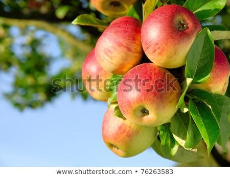 bos · Rood · appels · appelboom · boom - stockfoto © inxti