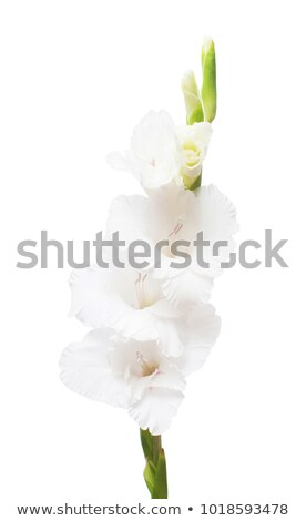 White gladiolus flower  Stock photo © bdspn