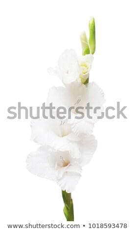 White gladiolus flower  Stock photo © bdspn