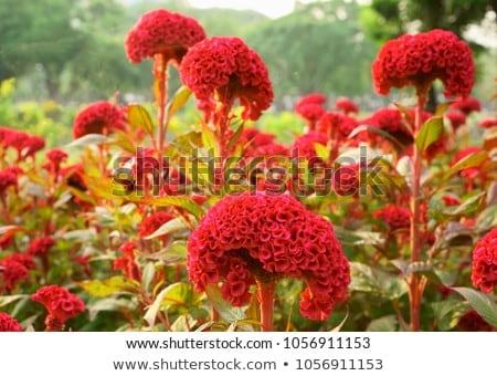 flor · belo · flor · amarela · lã · jardim · de · flores · jardim - foto stock © rbiedermann