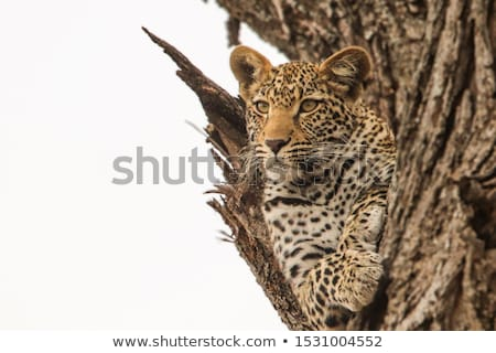 Yawning Leopard in the Kruger National Park, South Africa. Stock photo © simoneeman