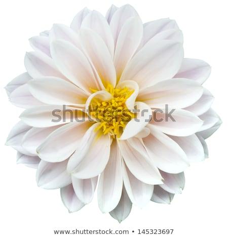 Daisy цветок изолированный белый весны трава Сток-фото © myfh88
