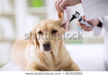 Zdjęcia stock: Lekarz · weterynarii · ucha · labrador · kobiet · weterynarz