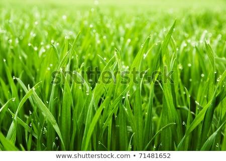 fű · vízcseppek · tavasz · tájkép · kert · háttér - stock fotó © hasloo