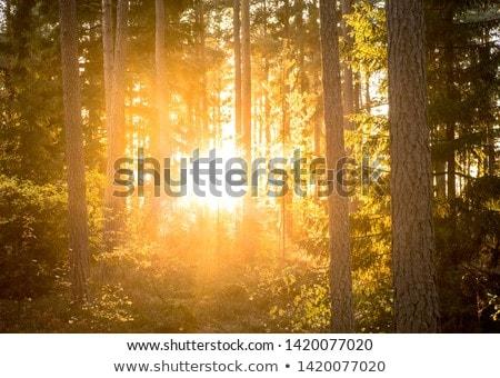 sun light over the woods stock photo © taviphoto