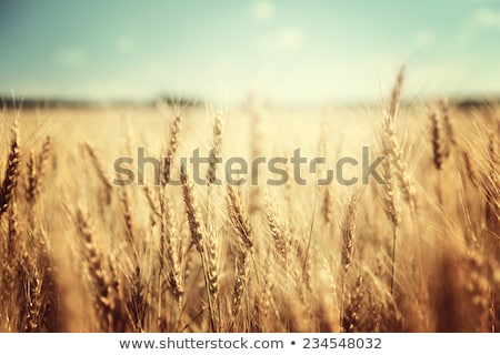 gold wheat field and blue sky stock photo © karandaev