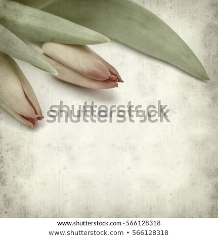 textured old paper background with tulips  Stock photo © rufous