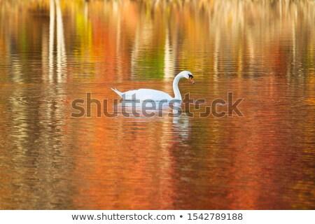 白鳥 秋 池 白 森林 日の出 ストックフォト © Givaga
