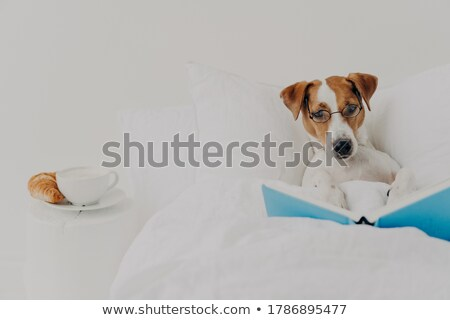 Clever pedigree jack russel terrier dog stays in comfortable bed and reads book like human, wears ro Stock photo © vkstudio