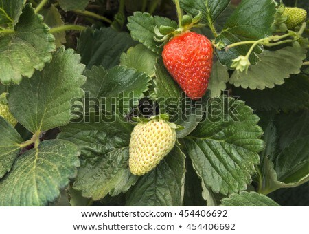 One green, unripe and pair of ripe red strawberries, with one cutted on half Stock photo © digitalr