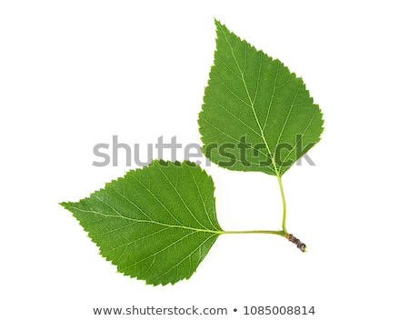 beautiful leaves from a birch Stock photo © meinzahn
