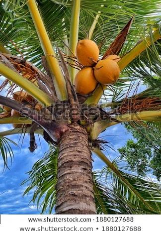 Kokosowe roślin niebo wody drzewo słońce Zdjęcia stock © davisales