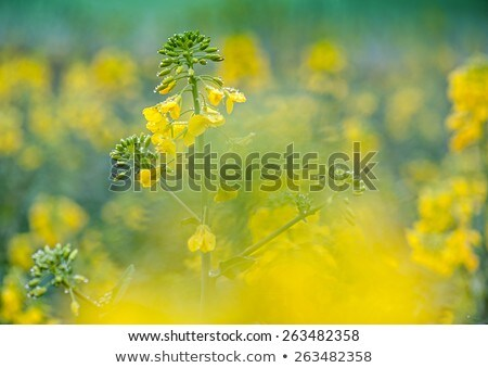 Rape field and water Stock photo © ldambies