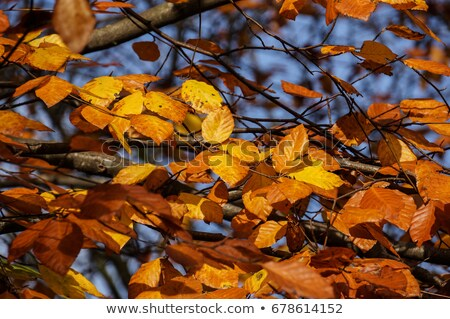 Dried faded beech leaves still on the branch Stock photo © Klinker