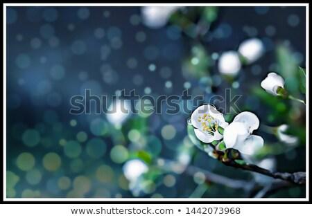 apple blossom on blue stock photo © vitalina_rybakova