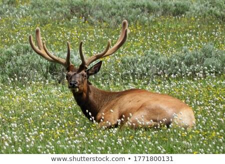 Yellowstone National Park: Wapiti Deer at Hayden Valley Stock photo © fisfra