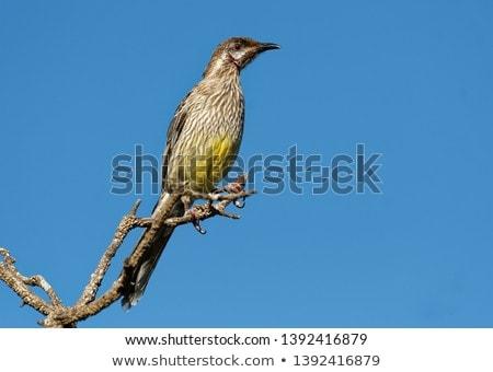 Red Wattlebird (Anthochaera carunculata) Stock photo © dirkr