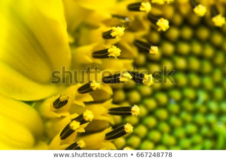 zonnebloem · witte · kant · Geel - stockfoto © CatchyImages