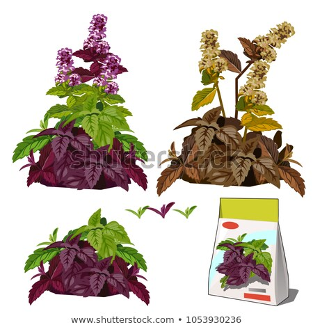 Set of stages of life of a agricultural plant basil isolated on white background. Paper packaging fo Stock photo © Lady-Luck