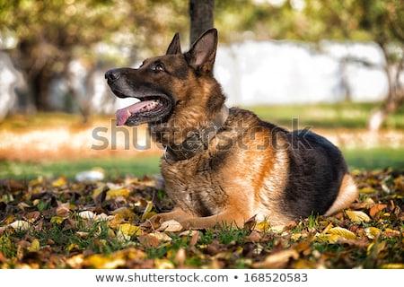 hond · leggen · naar · vloer · home · eigenaar - stockfoto © amaviael