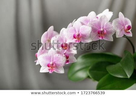 rózsaszín · virágzó · orchidea · gyönyörű · üvegház · virág - stock fotó © cosma