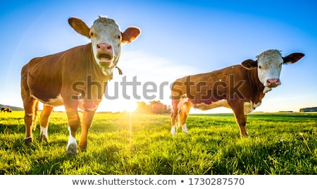 portrait of nice brown cow in a field stock photo © meinzahn