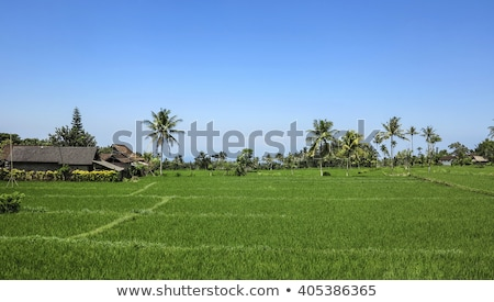 beautiful rice terracces in bali stock photo © meinzahn