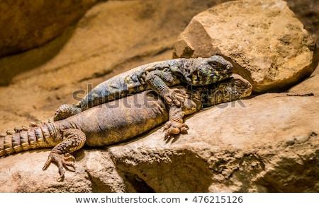 Mavi kertenkele bir canavar birlikte taş Stok fotoğraf © Klinker
