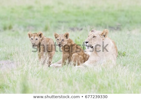 two lion cubs laying in the grass stock photo © simoneeman