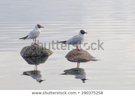 Black-headed Gull Reflected Stock photo © suerob