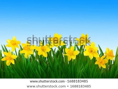 желтый Daffodil молодые расти цветочный горшок цветы Сток-фото © taden