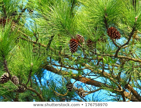 Coniferous tree pinecones Stock photo © AlessandroZocc