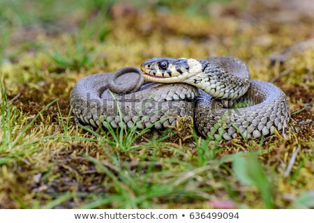 curled grass snake Stock photo © taviphoto