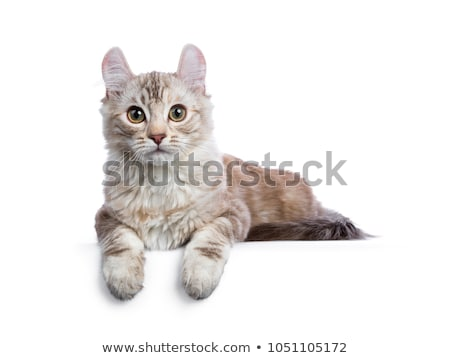 Black tabby with white American Curl cat / kitten, isolated on white background.  Stock photo © CatchyImages