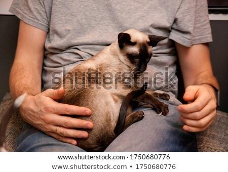 Stockfoto: Siamese And Oriental Shorthair Kitten On White