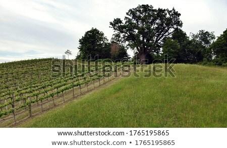 cork oak 05 Stock photo © LianeM