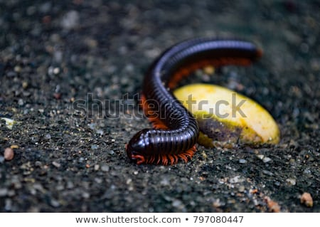 large millipede africa stock photo © michaklootwijk