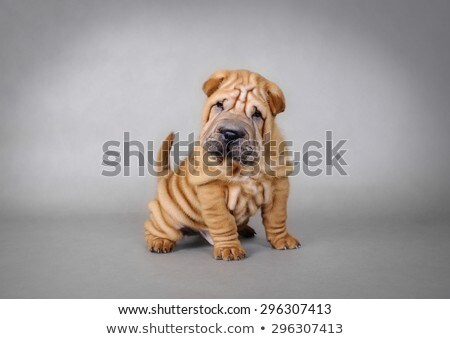 sharpei dog stock photo © fesus