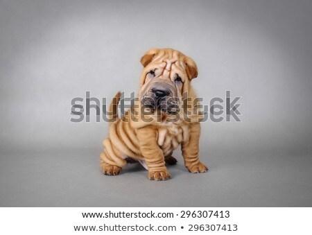 sharpei dog stock photo © fesus