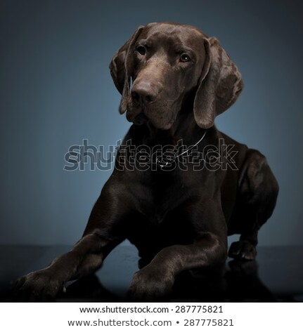 Stock photo: German pointer lying in a dark photostudio