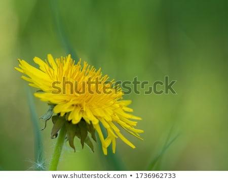 Foto stock: Amarelo · dandelion · primeiro · pequeno · grama · verde · flores