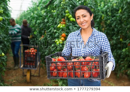Harvest from glasshouse Stock photo © brebca