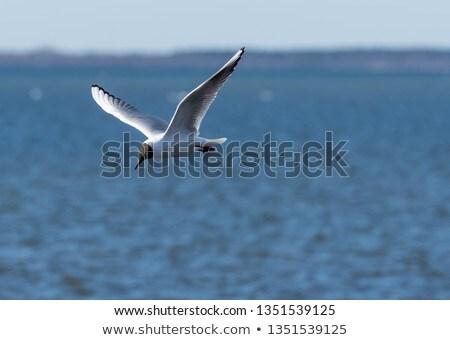 black headed gull flying over sea Stock photo © taviphoto