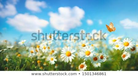 alan · çayır · bahar · beyaz · papatyalar - stok fotoğraf © mikko