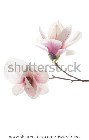 Magnolia Flowers Budding Early Spring Isolated Stock photo © Qingwa