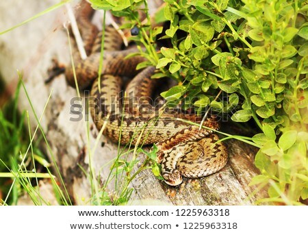 two females common vipers basking together on a stump Stock photo © taviphoto