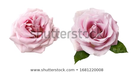 Сток-фото: Pink And White Blooming Roses