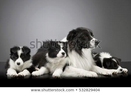 Stúdiófelvétel három aranyos juhászkutya kutyakölyök anya Stock fotó © vauvau