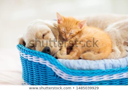 Cesta bebê gato adormecido Foto stock © simply